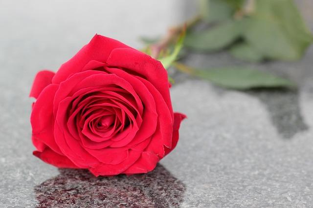 růže na hrobě