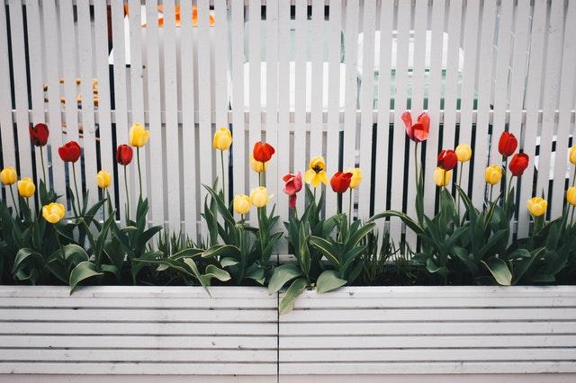 plot, tulipány